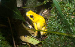 Golden_dart_frog_BLOG