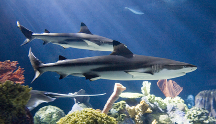 Blacktip Reef Shark_blog