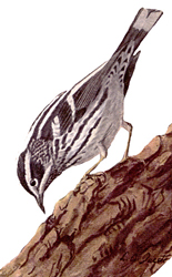 Black_and_White_Warbler