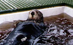 Sea Otter Rehab015_web