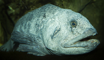 Atlantic Wolffish_large