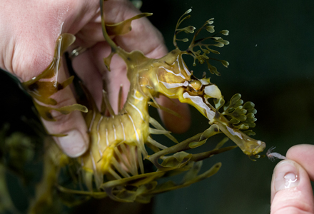 Blind Leafy Seadragon Feeding_blog
