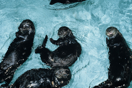 Sea_otter_rescue0125_web