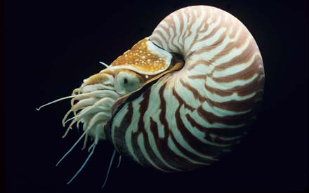 Chambered Nautilus_blog
