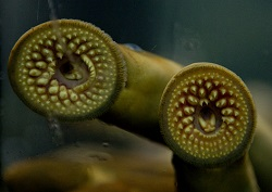 Lamprey_blog_small