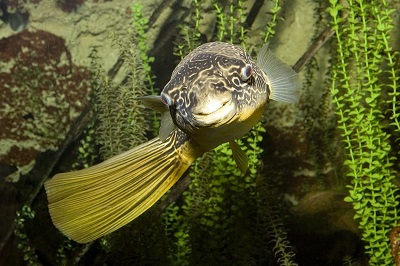 Congo River Puffer_8326 (2) - BLOG