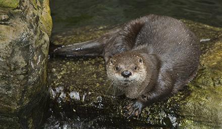 Shedd Aquarium River Otter