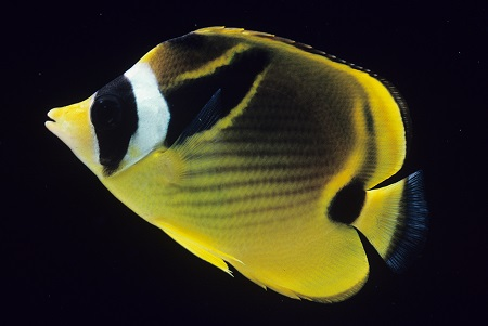 Raccoon  Butterflyfish 1234